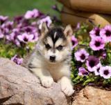 Alaskan Malamute Puppy for Sale in Pennsylvania