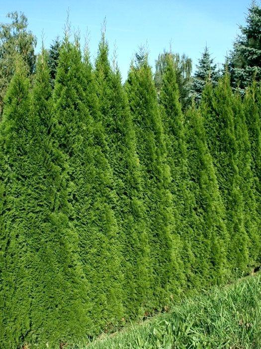 Thuja occidentalis 'Smaragd' - Lebensbaum 'Smaragd', Smaragd-Thuja Thuja occidentalis Smaragd ist die schönste Thuja-Sorte für eine Hecke oder einen Sichtschutz aus unserem Sortiment. Ihre Zweige und Nadeln sind die...
