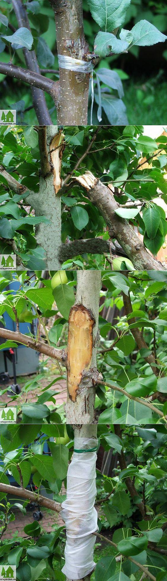 Лечение плодового дерева   Дачная жизнь - сад, огород, дача   сад-огород   Постила: