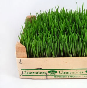 Grow grass in a clementine crate