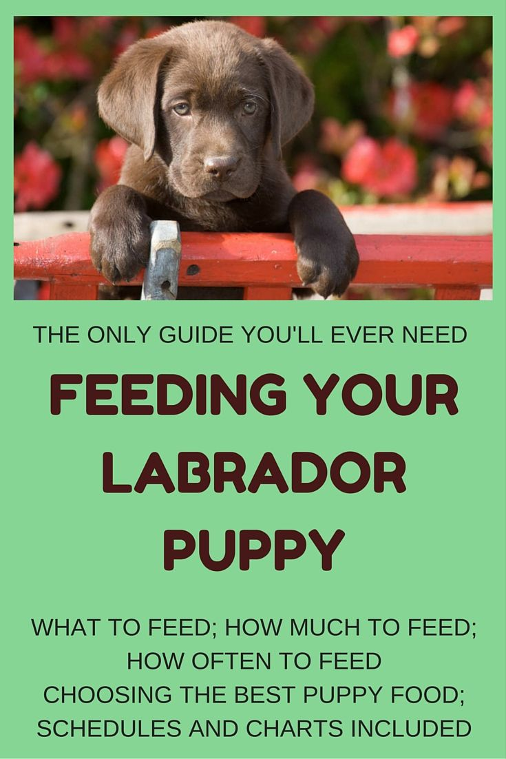 labrador puppy feeding guide