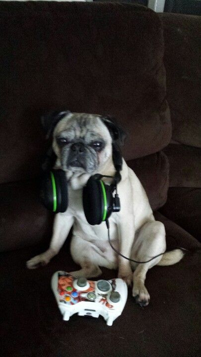 Animal Face Wallpaper We Re Guessing This Pug Playing Xbox Is More Excited Than