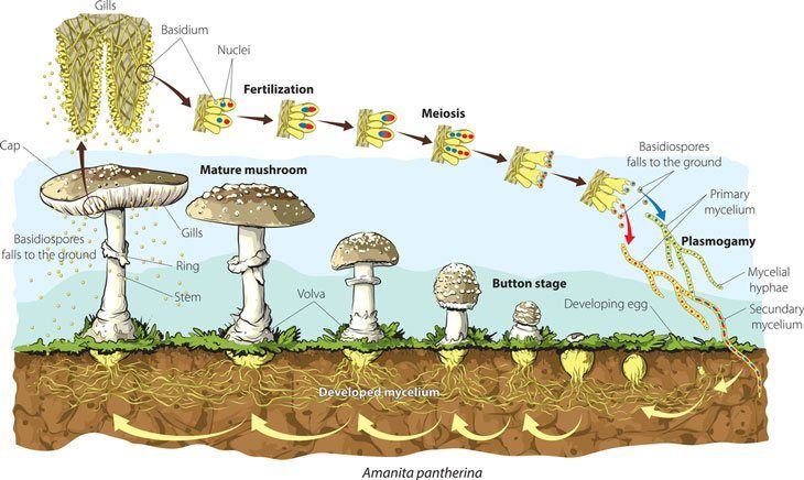 Mushroom Life Cycle Learn All You Need To Know Here Stuffed Mushrooms Life Cycles Life Cycle Learning