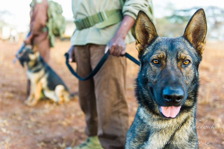 Anti-poaching dog by Conservation Photographer Peter Chadwick