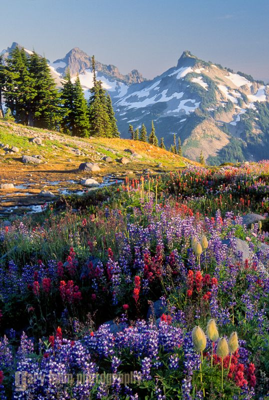Wildflowers and Mt. Rainier along Panorama Trail