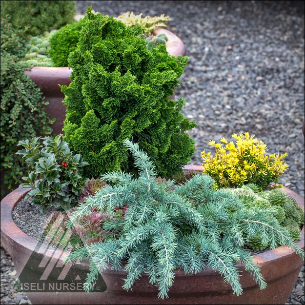 the amazing world of conifers container gardening