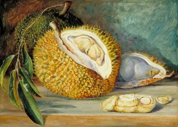 Durian Fruit from a Large Tree, Sarawak, Borneo by Marianne North  1876