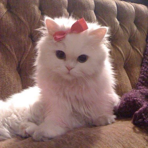 Albino Cats Are Not Just White Cats Cattime Baby Cats Albino