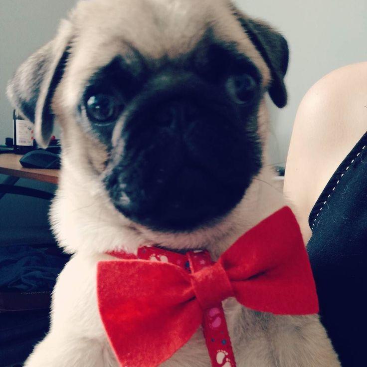 No hejka moje drogie Panie. Jestem gotowy na balety.  #pug #cute #puppie #dog #kid #happy #smile #elegant #red