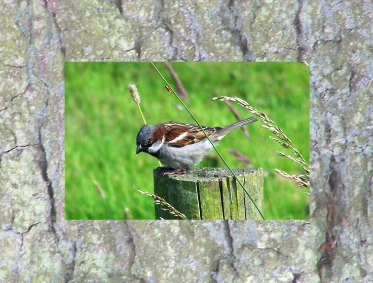 Calendar pix - March 2013 House sparrows are always welcome - and there's a soldier beetle on the grass stem.