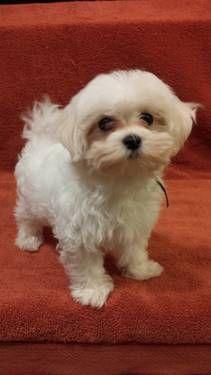 Cute Maltese puppies!