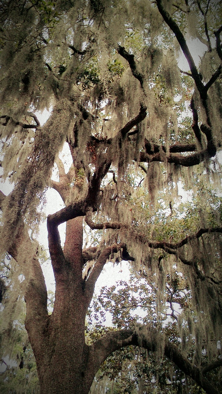 Spanish moss for crafts - Old Oak And Spanish Moss