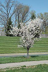 Click to view full-size photo of Princess Kay Plum (Prunus nigra 'Princess Kay') at Cannor Nurseries