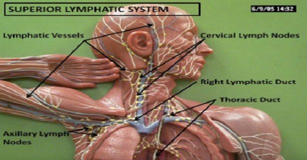 The lymphatic system, or lymph system as it is also called, is a system made up of glands, lymph nodes, the spleen, thymus gland and tonsils. It bathes our body's cells and carries the body's cellular sewage away from the tissues to the blood, where it can be filtered...