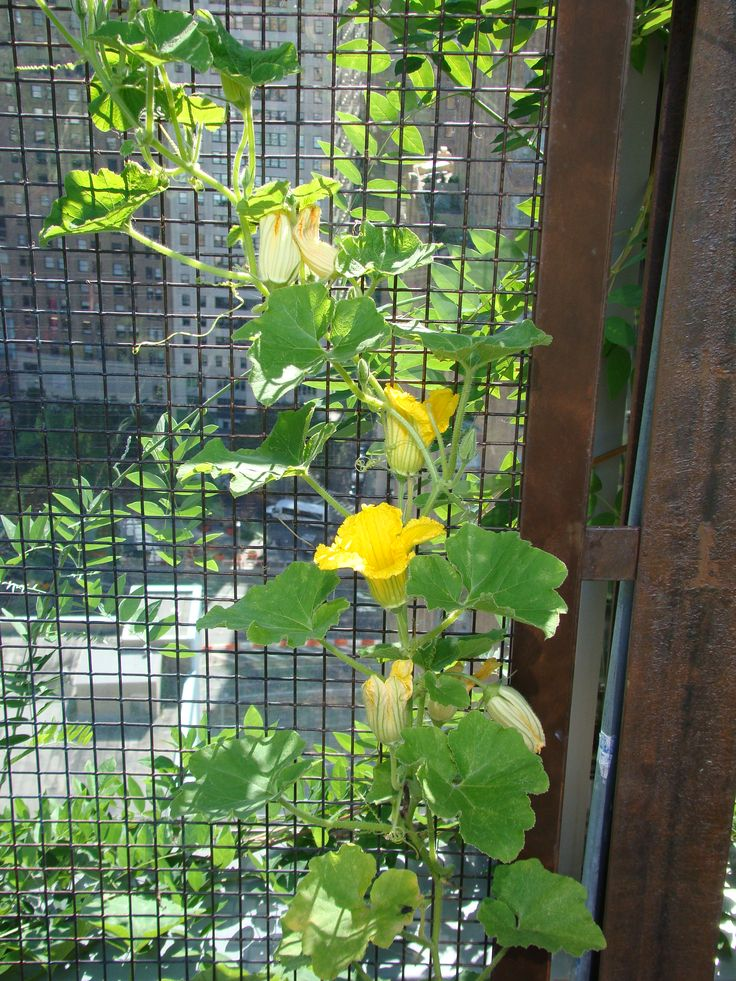 Growing Squash Vertically Extra Water To Put On A Spurt