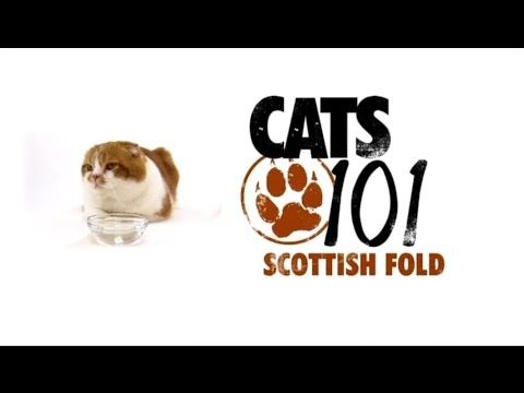 CATS 101 - Scottish Fold [ENG] - http://www.kittytalent.com/2014/12/cats-101-scottish-fold-eng/