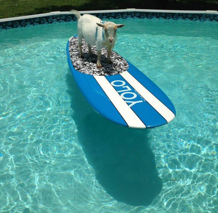 Swimming Pool Fun Stuff : Whatever floats your goat swimming pool surfboard