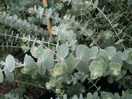 Silver Drop EUCALYPTUS * Annual in zone 5.  HEIRLOOM SEEDS 2015
