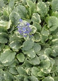 1000 Images About Ajuga On Pinterest Glow Runners And