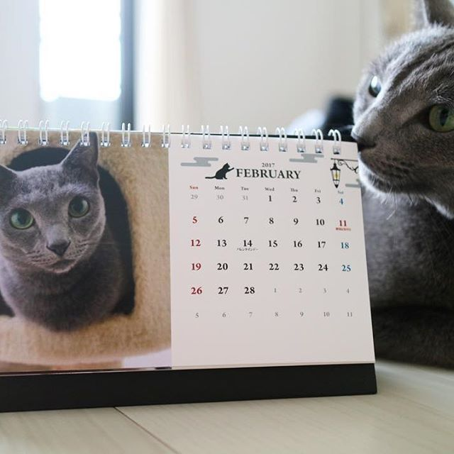 . 今日から2月👹🍫 . 今年のよもぎカレンダー🗓は年末年始が忙しすぎて💦1月に作成し2月始まりののカレンダーを作成しました💻来年1月まで使えます😂 . #cat #catsofinstgram #russianblue  #ねこ #にゃんこ #グレ猫倶楽部 #ロシアンブルー #猫 #ネコ #よもぎ #愛猫  #catstagram #ねこ部 #猫部 #ネコ部 #ふわもこ部 #instacat #pecoねこ部 #7catdays #catlover #LOVES_MY_CAT  #LOVES_CATS #ロシアンブルー会 #ルアと愉快な仲間達 #プリパーク #カレンダー