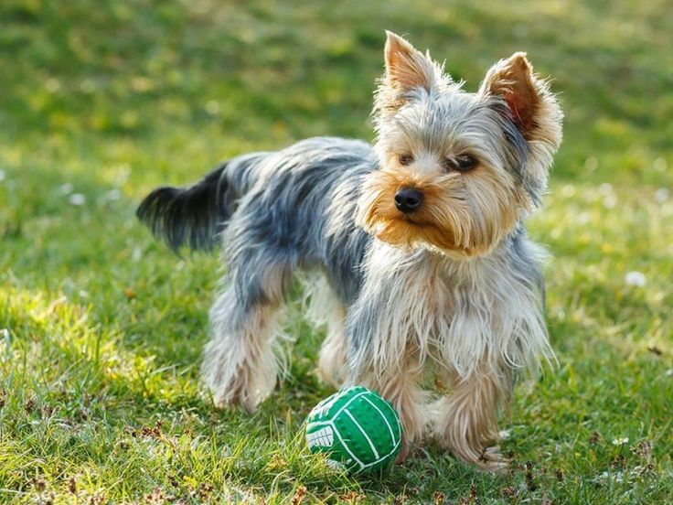 #DidYouKnow: Smaller dog breeds are known for their longer lifespan, and the Yorkshire terrier is no exception. Despite being pampered today as a miniature companion, the terrier was originally bred in the regions of Yorkshire and Lancashire to sniff out and kill rats. The yorkie has an estimated lifespan of 14 to 16 years. #PetPoolWarehouse