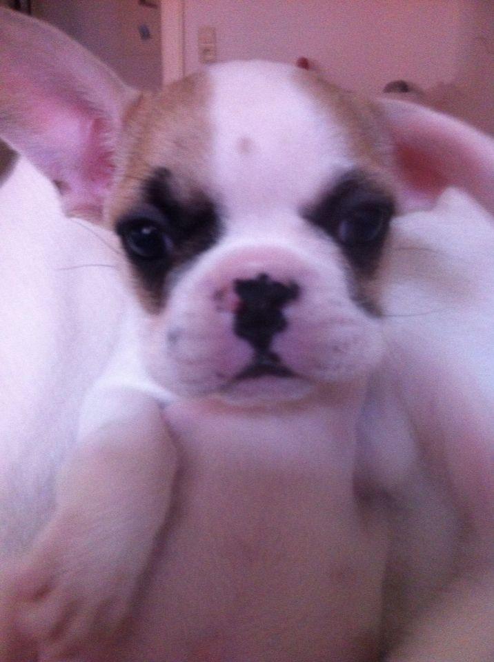 Gorgeous French bulldoggy. love love love him