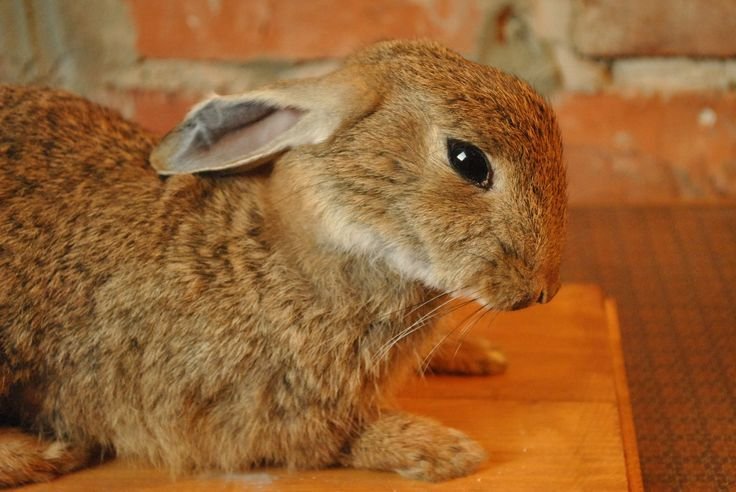 Taxidermy wild rabbit