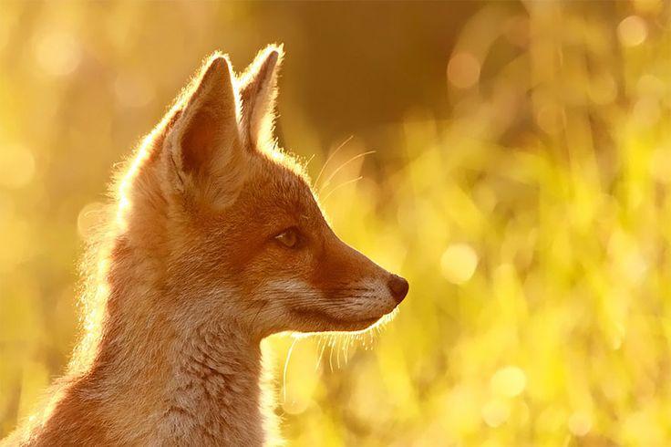 In het buitenland ga ik vaak op zoek naar allerlei wilde dieren. En ik zou bijna 'onze' dieren vergeten. Zoals de vos; verguisd en bemind. De Nederlandse fotografe Roeselien Raimond laat op overtuigende wijze de schoonheid van dit dier zien.