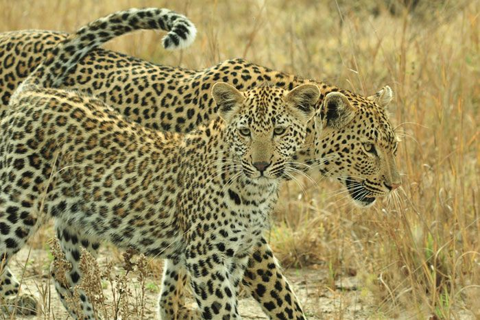 Maliliwane (Kwatile) female keeps a wary eye out for danger while her curious son looks all around him. August, 2011, photo by John Holley.