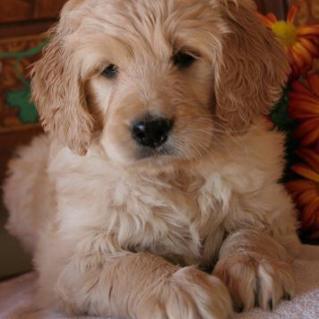 goldendoodle Goldendoodle puppy, Cute dogs, Doodle puppy