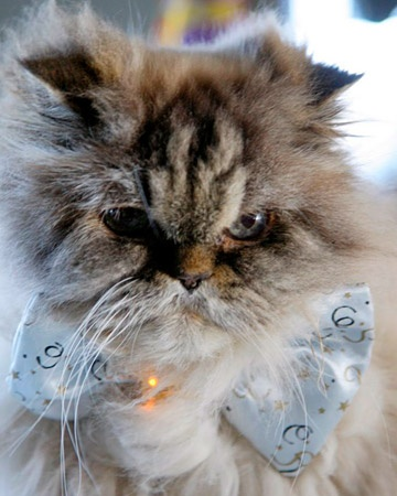 Martha Stewart's cat Mozart decked out for a New Year's Eve celebration but he looks wedding ready if you ask me.