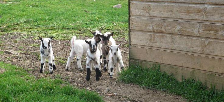 Y sigue aumentando la familia de cabras enanas que tenemos detrás del hotel..:-) pic.twitter.com/47o8K0avRb