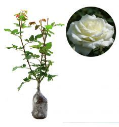 Mawar Putih Rp 28,000