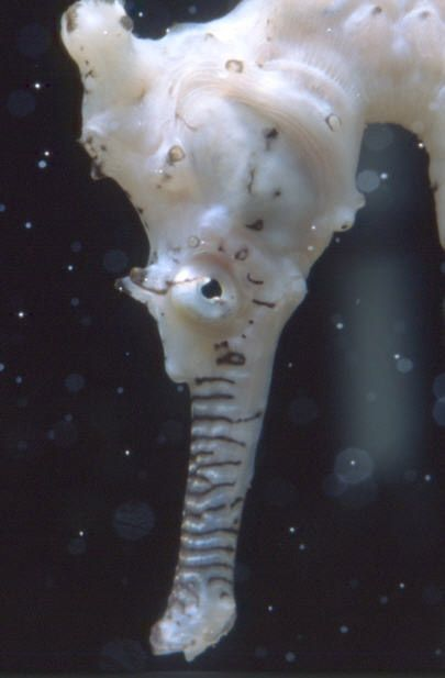 Seahorse Facts | The Seahorse Trust