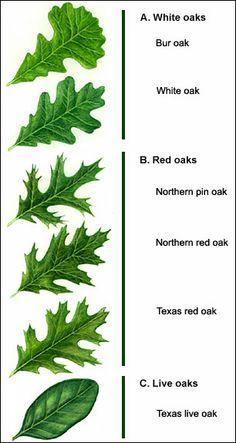 oak tree leaves identification – Google Search