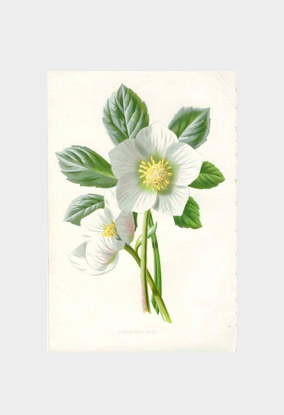 Christmas Rose  Vintage Botanical Print  #PeonyandThistlePaper #etsy