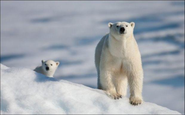 Fotogeniczne niedźwiedzie polarne - Joe Monster