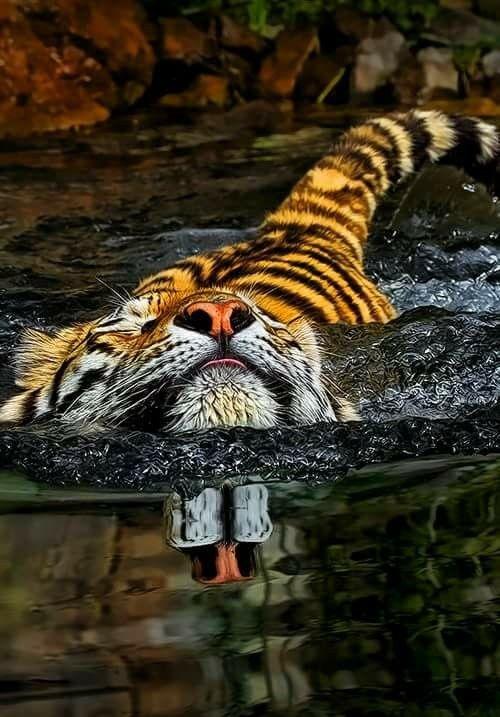 Tiger ~ takes a swim. Gorgeous.