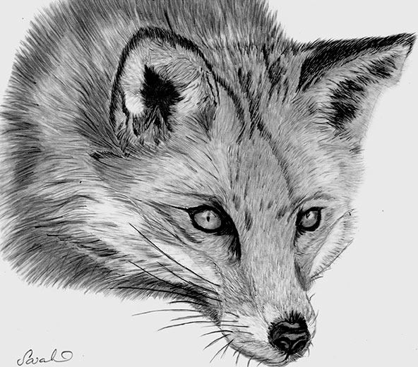 fox drawing drawings and paintings pinterest more