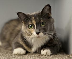 Vesna is an adoptable Dilute Tortoiseshell Cat in Gananoque, ON. Brought in middle of February very skinny and scared. She was unsure about us and what our role was.She has warmed up nicely to staff. ...