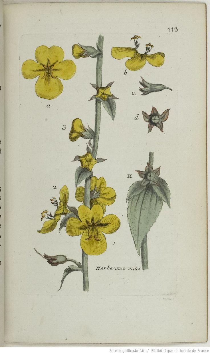 VERBASCUM - Verbascum blattaria. L'herbe aux mites / La blattaire / Le bouillon dentelé
