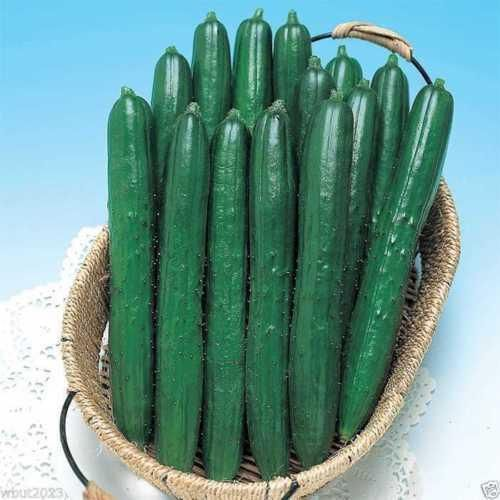 """Early Spring Burpless Cucumber Seeds, Also known as an """"English Cucumber"""