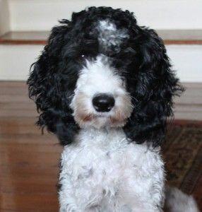 Springer Spaniel Poodle Mix 31 best images about A...