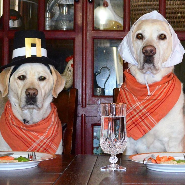 Pin by Laurie Hughes Warner on animal Dog thanksgiving