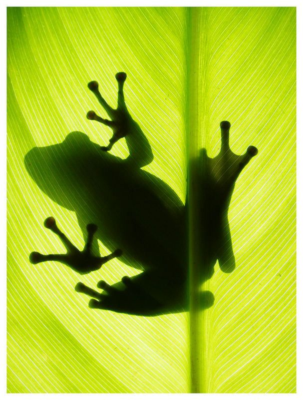 Frog Shadow Wallpaper x px