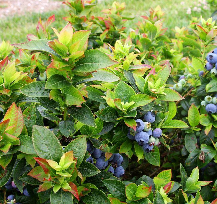 Brazelberries jelly bean, Espoma soil acidifier, Holly-tone, growing blueberries