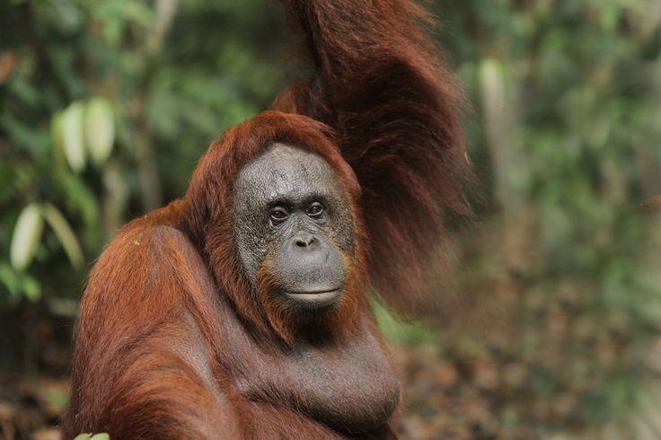 one of orangutan name's siswi