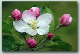 elma çiçeği ile ilgili görsel sonucu