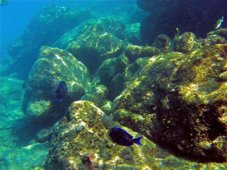De Blauwe Doktersvis, gefotografeerd op Curacoa