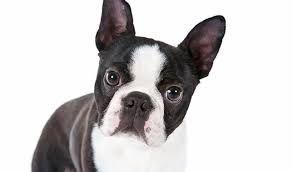boston terrier razas de perros pequeños